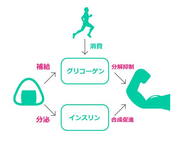 糖質の筋肉合成メカニズム